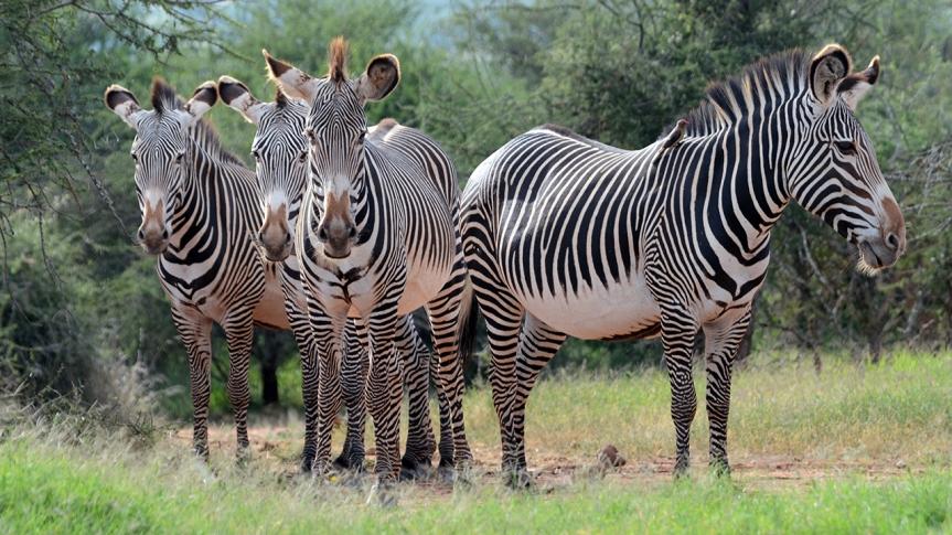 grevys-zebra_gallery_1.jpg